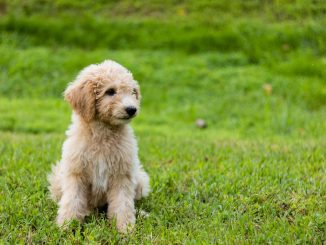 Dog Breed Guide - Goldendoodle
