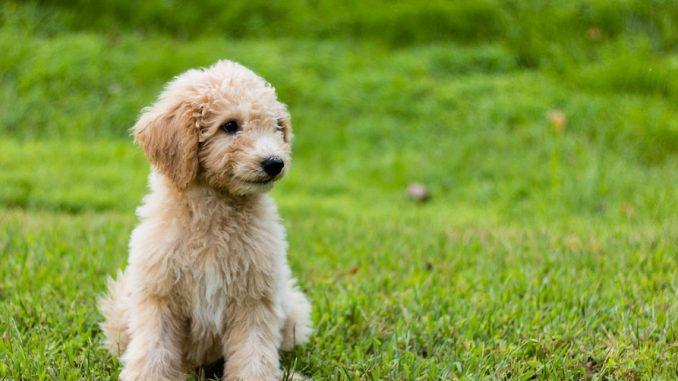 Dog Breed Guide - Goldendoodle