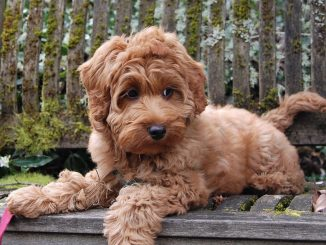 Dog Breed Guide – Labradoodles