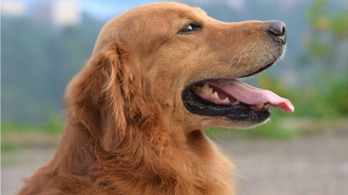 Everything You Need to Know About Golden Retrievers