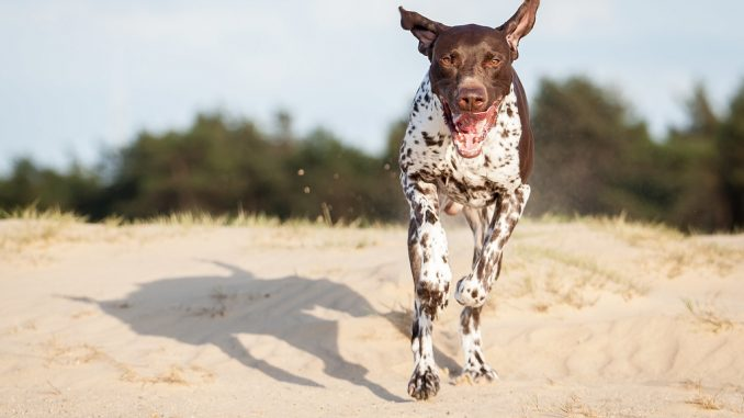 Dog Breed Guide – German Shorthaired Pointer