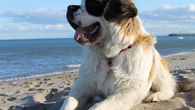 All You Need to Know About Saint Bernards